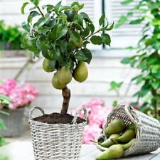 Sweet Fruit Pear Seed Indoor Mini Bonsai Tree Easy Grow 20 Pcs Home Garden Plant