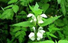 L'ortie blanche,le lamier blanc,graines d'ortie blanche,ortie biologique,graines