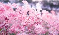 Exot Pflanzen Samen exotische Saatgut Ziergras Pink Gras !