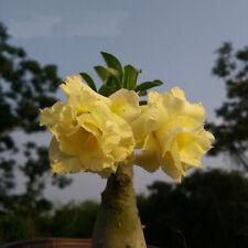 "5 pcs Desert Rose Flower Adenium obesum ""jelly"" Seeds #A028"