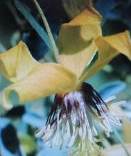 ♫ CLEMATITE de COREE Jaune - Clematis serratifolia ♫ Graines ♫ Ornement Grimpant