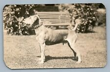 Airedale Terrier Dog Antique Real Photo Postcard Rppc