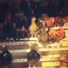 12 French Black Copper Maran Fertile Hatching Eggs! Free Shipping!!