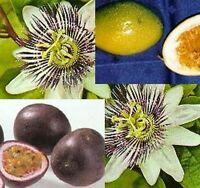 die schöne Passionsblume sieht gut aus und hat viele essbare Früchte