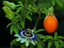 5Pcs Passionflower Fruit Seeds Rare Mix Color Bonsai Perennial Jucy Tasty