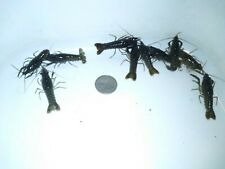 New listing 10 Live Brown Red/Orange Crayfish Crawdad Freshwater Baby's Newly Hatched