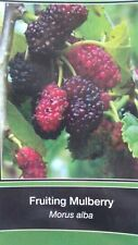 4'-5' Fruiting Mulberry Tree live Healthy Plants easy to grow plant trees Berry