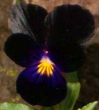 NEW! 35+ VELVETY BLACK VIOLA FLOWER SEEDS / SHADE LOVING PERENNIAL