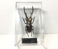 Deagostini 1:1 Cyclommatus Imperator Male Stag Beetle Golden Insect Figure