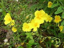 Common Rockrose. Helianthemum nummularium. 50 seeds. British native wild flower.