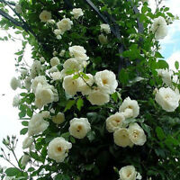 White Climbing Rose Seeds Rosa Multiflora Perennial Fragrant Flower 100PCS