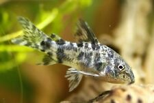 5+1 Peppered Corydoras Live Fish 2Day Fedex Shipping