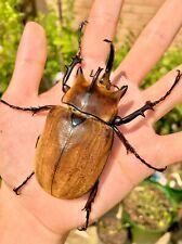 Elephant Rhino Beetle • (Megasoma typhon), larvae - feeder food
