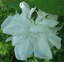 HIGE - Solid White - Pom pom - Feathered Morning Glory - ipomoea purpurea