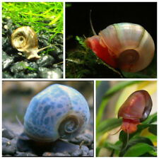 10+ Random color Ramshorn Snails (Baby to Juvenile size) << Free Shipping >>