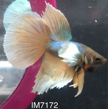 Young Blue And Yellow Dumbo Halfmoon HM Male Live Betta Fish