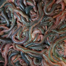 RAGWORM!   Sea fishing bait! 1lb of weight next day delivery if ordered by 12pm