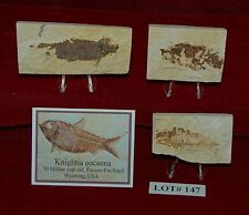 Fossil Fish KNIGHTIA 50 Million Year Old 3 Plaques+Stands+ID Card Lot#147