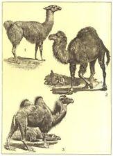 ANIMALS. Camelidae; 1 Guanaco; 2 Dromedary; 3 2-humped camel 1907 old print