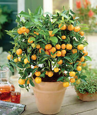 100 seeds of Orange Bonsai Tree Citrus mandarin