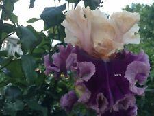 Tall Bearded Iris ~Roaring Twenties ~