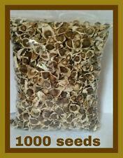 Semillas de Moringa (1000) PKM1 Moringa Oleifera Seeds - US Customs Cleared