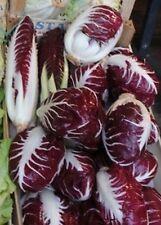 Endive Lettuce Radicchio ROSSA DI VERONA Chicory 1000 SEEDS Italian Heirloom