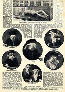 "Frank Kerns dressierte Bulldogge ""Bols"" in Amerika Text / Bilddokument von 1908"