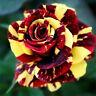 ❀ 5 Semillas ❀ Colorida ❀ Rosa Amailla y Roja ❀ Jardín De Casa ❀  MAS REGALO ❀