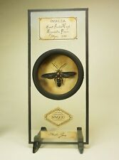 1 Mounted Giant Iridescent Scoliid Wasp, New Deep cell style mount