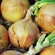 RHS Award Winner! Onion Spring plants /'White Lisbon/' 6 x medium plugs