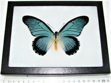 Real Framed Butterfly Blue Papilio Zalmoxis Africa