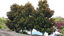 Magnolia grandiflora LITTLE GEM SOUTHERN MAGNOLIA Seeds!