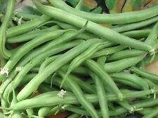Blue Lake Bush Bean Seeds- Heirloom Variety- 20+ Seeds 2019  $1.69 Max. Shipping