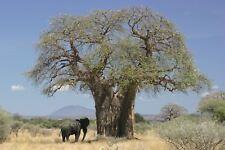 Adansonia digitata - African Baobab - Indoor Bonsai - Top Quality Seeds