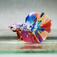 Live Betta Fish - Male - Koi Rainbow Candy Marble Halfmoon (AMMAUG120)