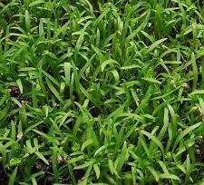 15,000+ Microgreens (Sprouting) Seeds-Scarlet Nantes Carrot- Non-GMO