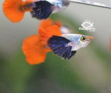 3 Live Assorted Dumbo Male Guppies Fish USA Bred