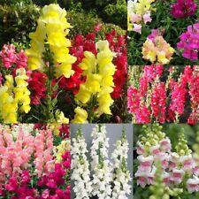 50PCS MIXED SNAPDRAGON SEEDS ANTIRRHINUM MAJUS BONSAI GARDEN FLOWER PLANT STRICT
