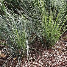 FROSTY TOP Lomandra confertifolia rubiginosa native grass plant in 140mm pot