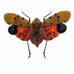Lantern Fly (Penthicodes atomaria) Insect Specimen Indonesia