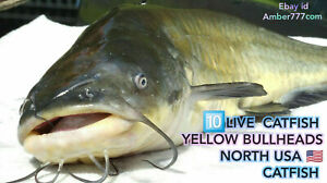 10 LIVE EUROPEAN YELLOW BULLHEADS, BULLHEAD CATFISH SHIPPING FROM  2021-05-01