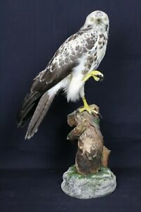 Taxidermy-hunting-chasse-präparat- Comm. Buzz. (pale form) dated 1940 (restored)