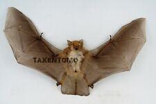 Kerivoula pellucida (Clear-winged woolly bat) Spread Taxidermy REAL