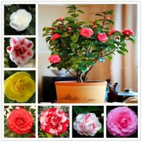 5Pcs Seeds Camellia Flowers Bonsai Plants Rare Kinds Leaf Exotic in Garden Home