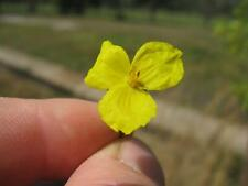 Xyris operculata - Tall Yellow Eye - 20  Seeds