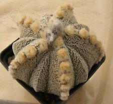 Astrophytum сv 5ribs 'Fukuriyo' 100 seeds