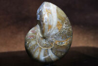 Fossil Fish High Polish Great Detail Nautilus Mineral Deposits See Video B11