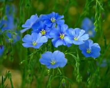 400 Blue Flax Seeds Hardy linum perenne Linacaea Perennial Hanging Flower Plant