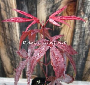 "Dormant -Japanese Maple - Acer Palmatum - ""Blood Good"""